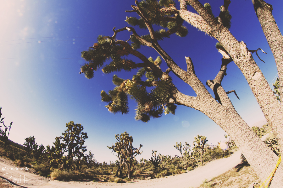 Joshua Tree - photo by Renel Holton - www.renelholton.com / 3213edit