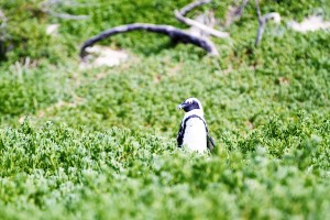 Boulders African penguin - photo by Renel Holton - www.renelholton.com / IMG_7427