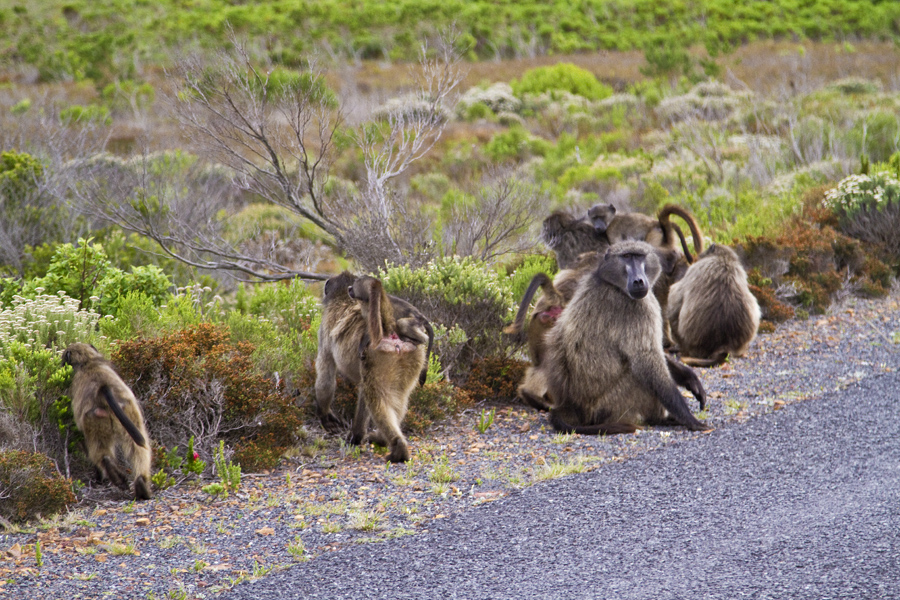 Chacma Baboons at Cape of Good Hope - photo by Renel Holton - www.renelholton.com / IMG_7500