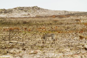 Cape mountain zebra, Cape of Good Hope, South Africa - photo by Renel Holton - www.renelholton.com / IMG_7466