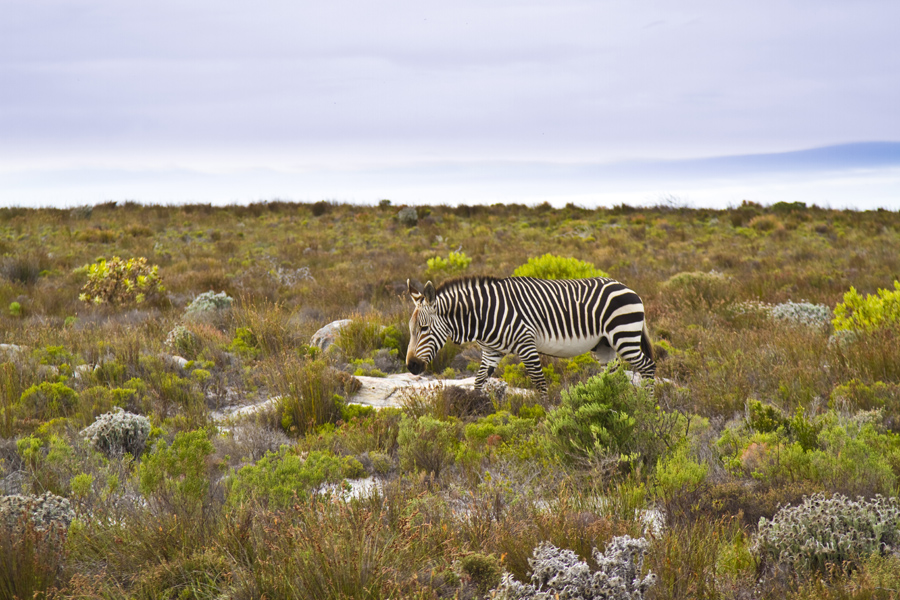 Cape mountain zebra, Cape of Good Hope, South Africa - photo by Renel Holton - www.renelholton.com / IMG_7450