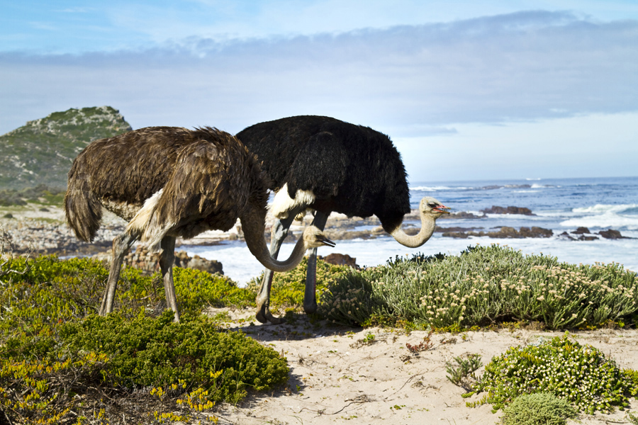 ostrich at Cape of Good Hope, South Africa - photo by Renel Holton - www.renelholton.com / IMG_7541