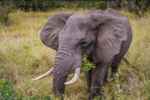 Elephant in Kruger National Park -photo by Renel Holton - www.renelholton.com