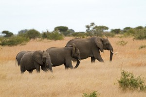 Elephants in Kruger National Park - photo by Renel Holton - www.renelholton.com