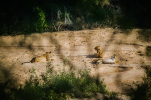 Lions in Kruger National Park - photo by Renel Holton - www.renelholton.com