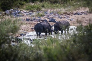 Rhino in Kruger National Park - photo by Renel Holton - www.renelholton.com