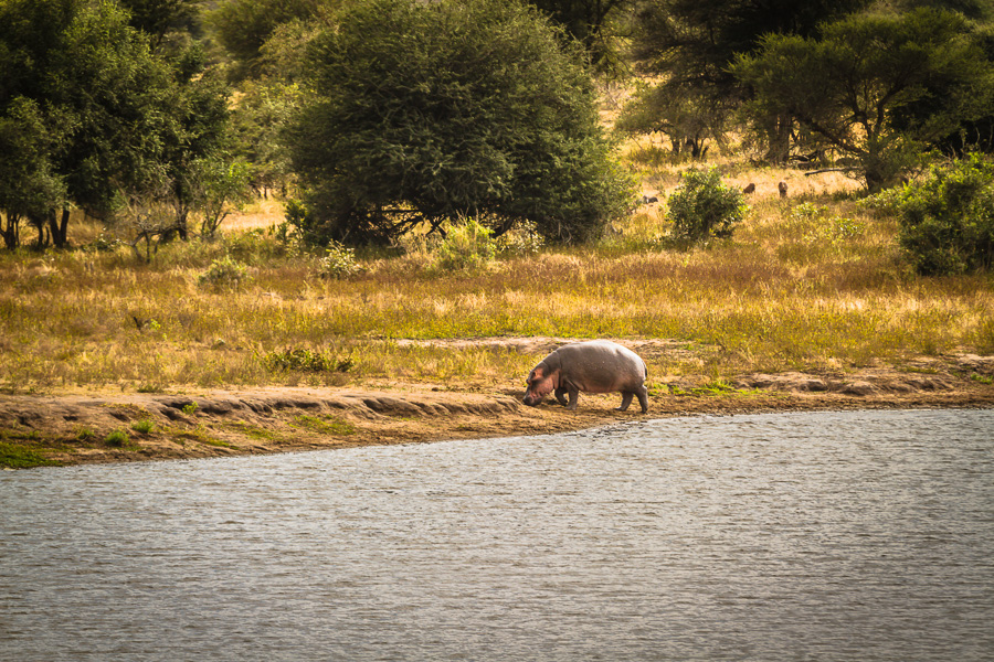 Hippopotamus in Kruger National Park - photo by Renel Holton - www.renelholton.com