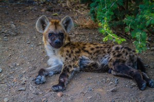 Spotted hyena in Kruger National Park - photo by Renel Holton - www.renelholton.com