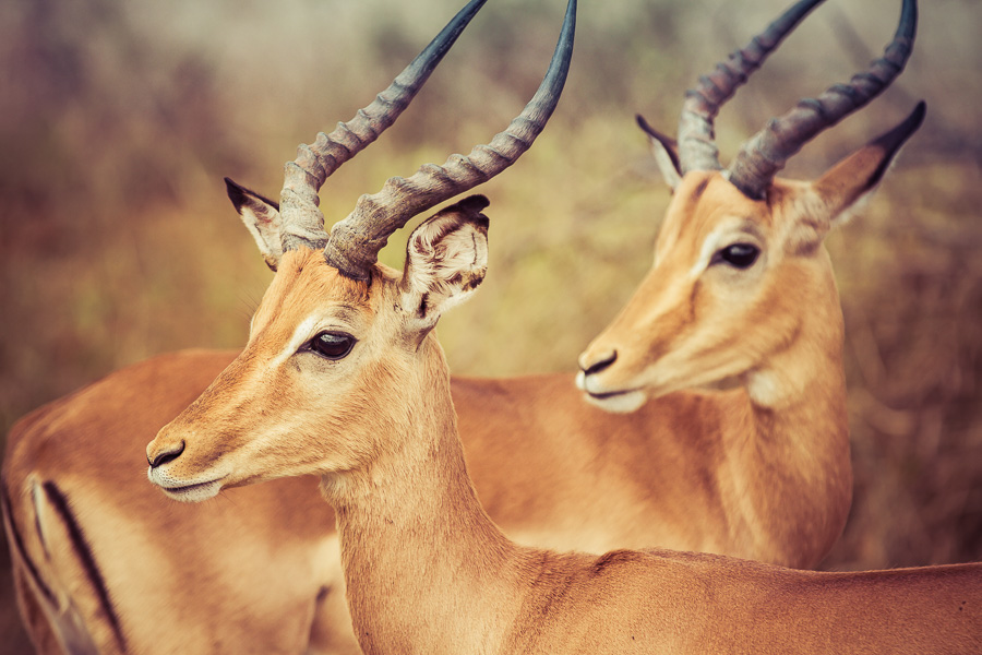 Impala in Kruger National Park - photo by Renel Holton - www.renelholton.com
