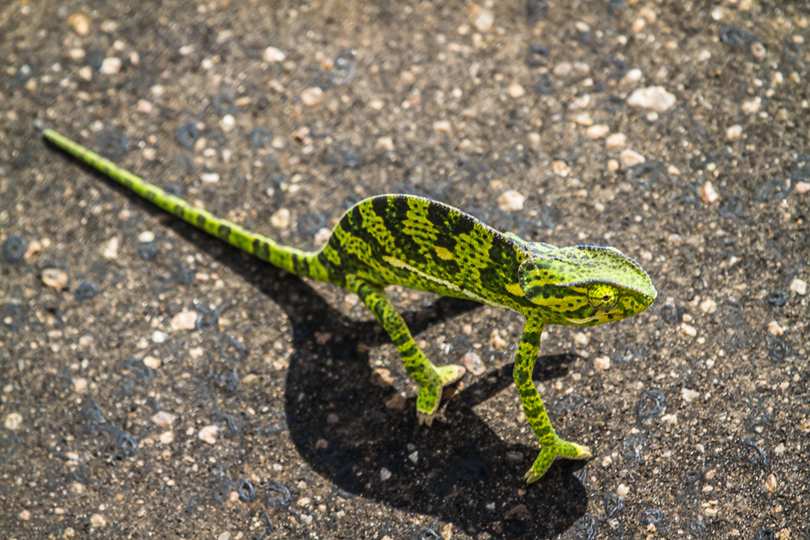 Lizard in Kruger National Park - photo by Renel Holton - www.renelholton.com