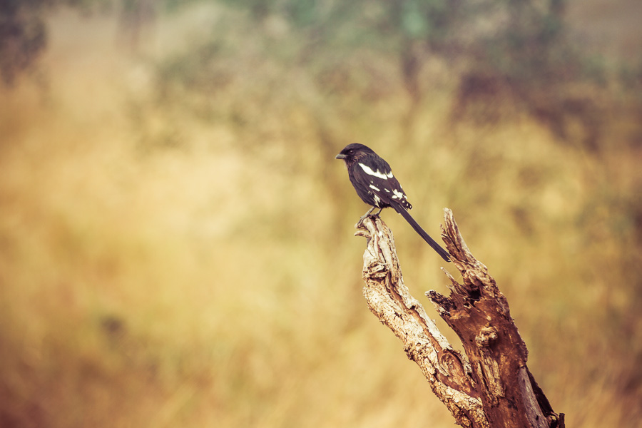 Magpie shrike - photo by Renel Holton - www.renelholton.com